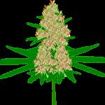 Laxou: Achat CBD liquide ou fleurs et cristaux meilleur Amnesia Haze !