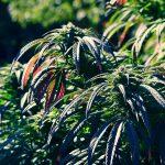 Bayonne: Achat CBD huile - fleurs et résine en ligne Sour Diesel !